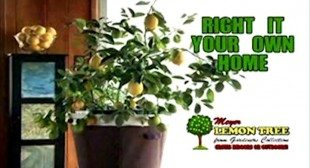 Meyer Lemon Tree As Seen On TV