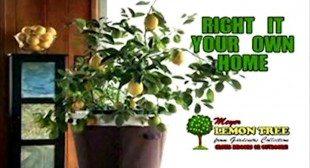 Meyer Lemon Tree As Seen On TV