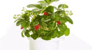 Click & Grow Smartpot Strawberry Refill