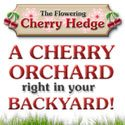 The Flowering Cherry Hedge | Grow Fresh Cherries at Home